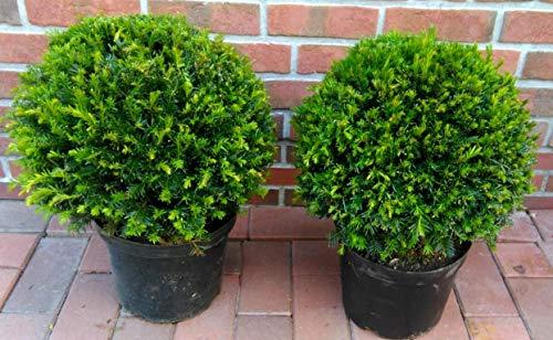 2 Eiben - Kugel, Eibe, Durchmesser: 35-40 cm, Taxus baccata + Dünger