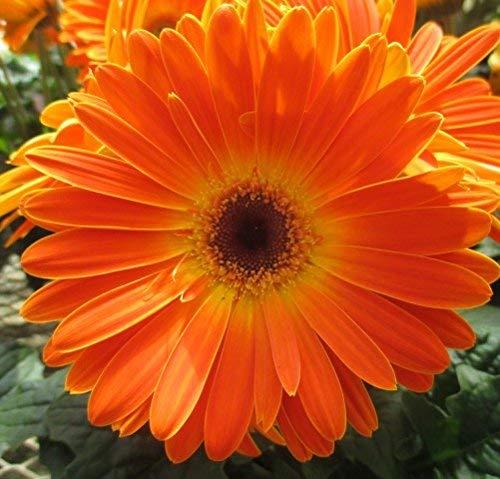 Frische 20 Samen - Gerbera-Pastell orange Blumensamen