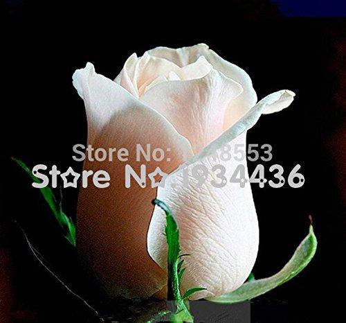Promotion!!! 20+ Graines / Pack, Graines Heirloom Fleshcolor européenne Rose Fleur, Professional Pack, White Light Pink Rose Plante