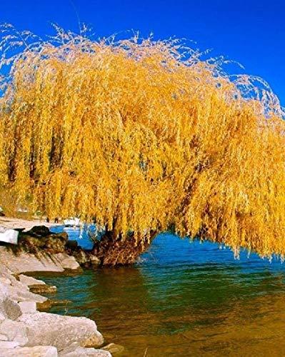 5 Giallo salice piangente semi di albero Fiore gigante completa Paesaggio Garded Yard