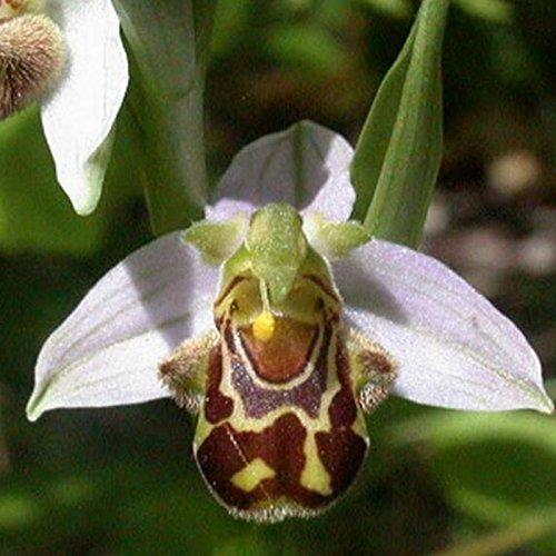 Graines Chine Rare Flower Bee Orchid Fleur Sourire Visage Fleurs intéressants semences bricolage maison et jardin Livraison gratuite 50 graines / paquet