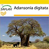 SAFLAX - Set de cultivo - Árbol del pan del mono - 6 semillas - Con mini-invernadero, sustrato de cultivo y 2 maceteros - Adansonia digitata