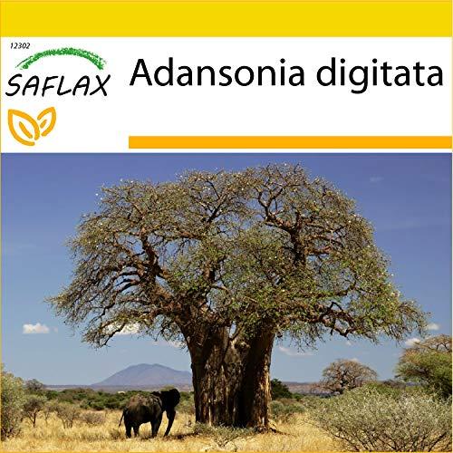 SAFLAX - Anzucht Set - Afrikanischer Affenbrotbaum - 6 Samen - Mit Mini-Gewächshaus, Anzuchtsubstrat und 2 Töpfen - Adansonia digitata