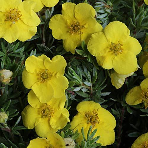 Qulista Samenhaus - Rarität 50pcs Gelb Fingerstrauch Kobold Bodendecker Blumensamen winterhart mehrjärhig