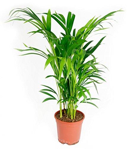 Areca lutescens Palme, im 17cm Topf, Betelnusspalme, 60 cm hoch