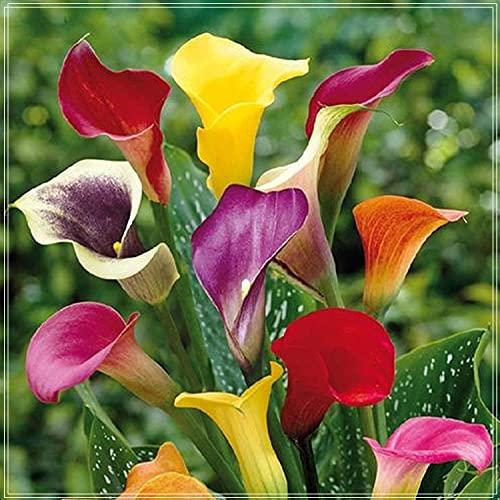 Bulbos de lirio de Cala,Lirio de Cala Planta,Plantación De Terraza, Natural,Las Flores Misteriosas Pueden Decorar La Casa-12 Bulbos,A