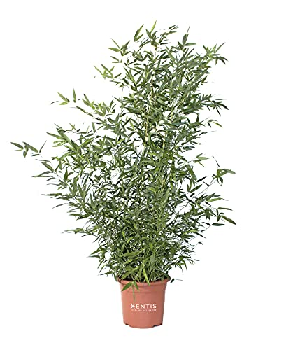 KENTIS - Bambusa Phyllostachys Bissetii - Bamboo Pianta Vera da Esterno - H 145-170 cm Vaso Ø 24 cm