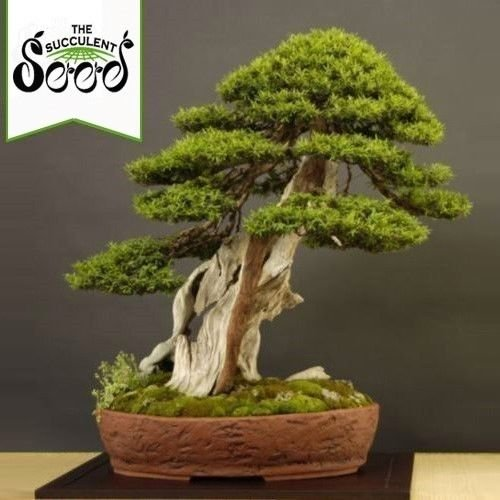 Portal Cool Japanische Eibe - Japanische Eibe (10 Bonsai Seeds)