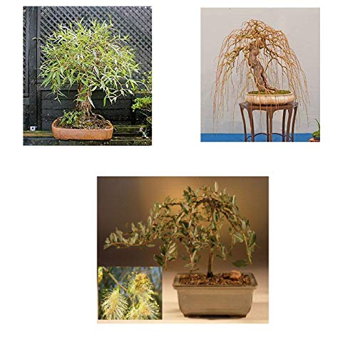 Bonsai Willow Tree Bundle - 3 Large Trunk Bonsai Tree Cuts - Get one Each Golden Curls, Globe, Green Weeping - Ready to Plant - Indoor/Outdoor Bonsai Tree's