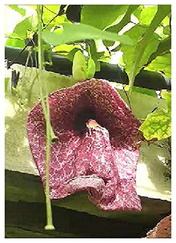 TROPICA - Riesen - Gespensterpflanze (Aristolochia grandiflora) - 10 Samen