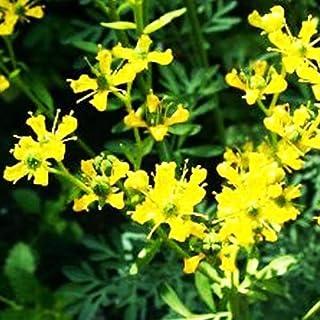 100 Yellow RUE (Herb of Grace) Ruta Graveolens Herb Seeds,Refreshing and Pleasant