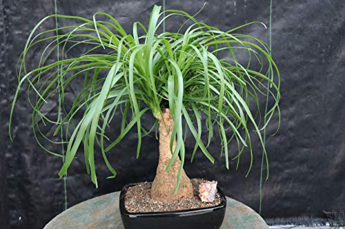 Live Plant - Ponytail Palm Bonsai Tree - Tree Plant