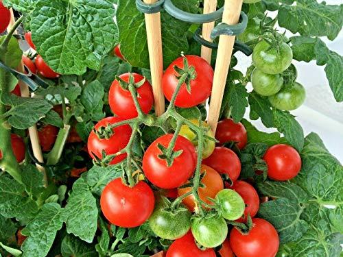 WICORP - 100+ Large Cherry Tomato Salads Garden/Patio Container Easy | Garden, Gerdening, Farm