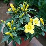Oldhorse Home Garden Balcony Bonsai Plant Belles graines de Fleurs de Jasmin Jaune Graines