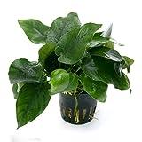 pianta vera per acquario, anubias barteri var. nana