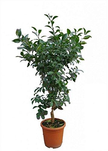 Meine Orangerie Yuzu - Citrus x Junos - Zitrus Yuzu - echter veredelter Citrusbaum - Fruchtreife Pflanze in Gärtnerqualität - sehr aromatische Früchte