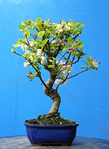 BONSAI DE MANZANO DE 12 AÑOS (FOTO REAL DEL BONSAI QUE SE RECIBE)