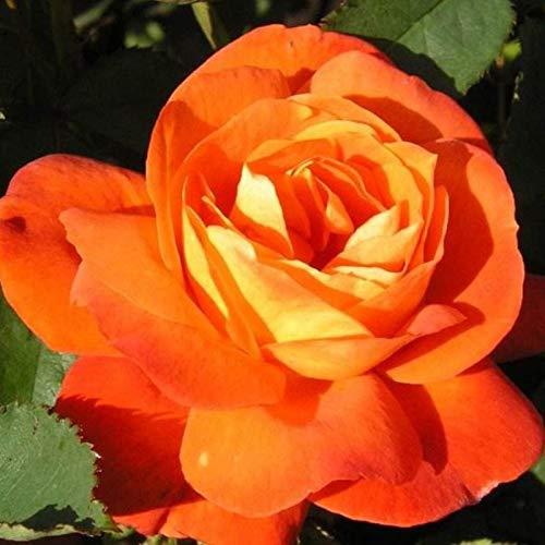 puran 100 Stück/Beutel Rosensamen Zum Pflanzen, Süß Hohe Keimrate Mehrfarbige Mehrjährige Pflanze Bonsai Rose Blumen Samen Für Den Hof Orange Rosensamen
