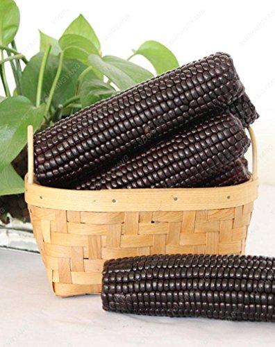 20 graines/pack semences de maïs cireux noir noir collant maïs semences de maïs cireux noir organique plante bonsaï végétale Noir