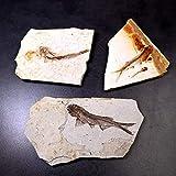 DIY Fertigkeit-Charme Echte Bony Fosslien Lycoptera Echt Fossil Fisch Schmuck China vor 150...