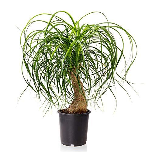 Sense of Home Zimmerpflanze Elefantenfuß - Nolina recurvata - trendige & pflegeleichte Indoorpflanze mit großen Blättern - Liefergröße ca. 35-45 cm