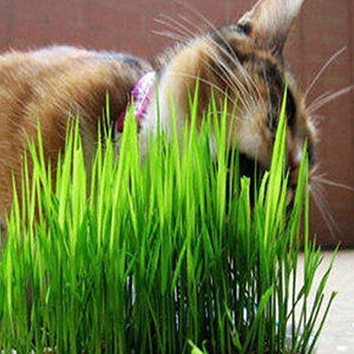 Monarde, cheval menthe graines de plantes aromatiques, États-Unis Mint, environ 40 particules