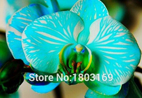 1000PCS roman plante iris bonsaï papillon graines Orchidée Phalaenopsis Fleurs Fleur graines Orchid Seed jardin