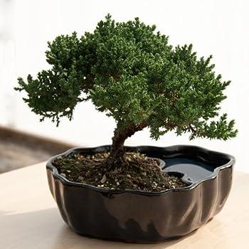 Best zen reflections juniper bonsai Reviews