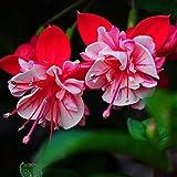 Kisshes Fuchsie Winterhart 30 stücke Blumenwiese Kletterpflanzen Bauerngarten Samen Blume Hausgarten Pflanze Saatgut