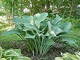 Autumn Frost-Hosta Seeds-Full Sun-Part Shade, Perennial Flowers ! 25