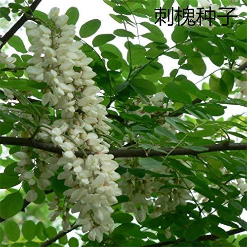 Graine de criquet à croissance rapide Graine d'arbre de criquet chinois Acacia criquet, graines de caroube de carthame 300 graines de criquet_700 capsules