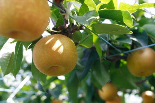 産地直送低農薬・有機肥料栽培長野県中島農園の幸水梨12~15玉約4.5kg産地箱入贈答用
