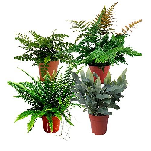 4x Indoor plants | 4er Set Luftreinigende Zimmerpflanzen Set | Farn Zimmerpflanze | Höhe 25-30 cm | Topf-Ø 12 cm