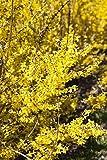 Goldglöckchen Forsythia 'Week-End' -R- im Topf gewachsen ca. 60-80cm