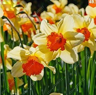pas de bulbes de jonquille graines de fleurs de bonsa/ï Absorption Rayonnement plante jardin de la maison 11 jonquille Fash Lady Livraison gratuite100pcs // sac Graines de narcisse
