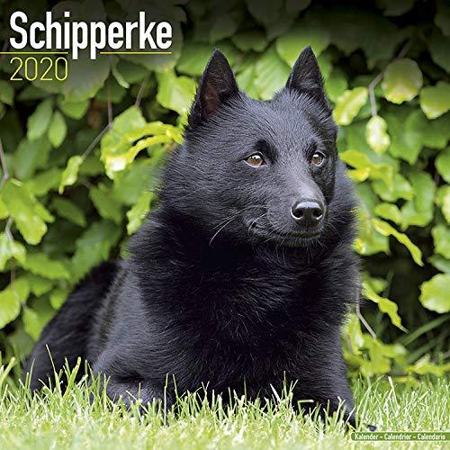 Schipperke Calendar 2020