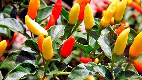 250 Samen: Tabasco Pepper Samen, HOT Chili Pepper, Non-GMO, Variety Größen, freies Verschiffen