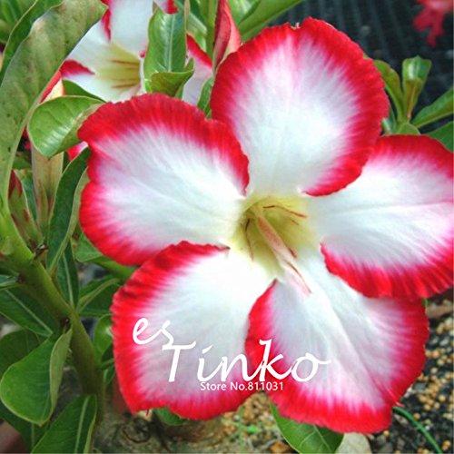 2pcs Desert Rose Rare Graines Adenium obesum Seeds Desert Rose 'Super Noble Concubine' Graines de fleurs jardin Bricolage