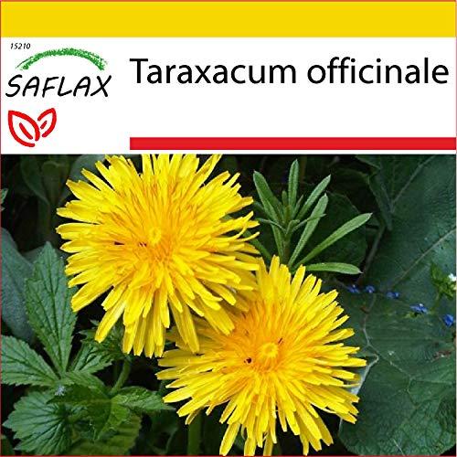 SAFLAX - Set de cultivo - Diente de león - 200 semillas - Con mini-invernadero, sustrato de cultivo y 2 maceteros - Taraxacum officinale