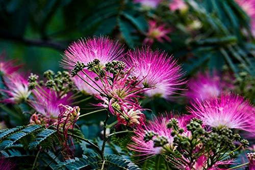 20+ Pink Albizia Julibrissin Tree Flowers Seeds Acacia Mimosa Home Bonsai