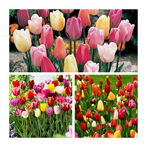 Humphreys Garden Triumph Tulip Tulipán Mixed x 50 Bulbs bulbos Size 10/11