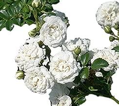 white drift rose