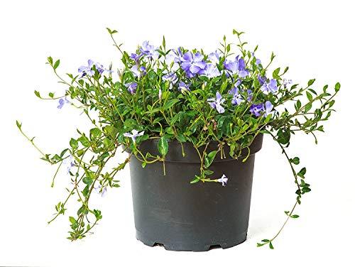 Violettblaues Immergrün - Vinca Minor - Bodendecker - Topf 20-25cm (10)