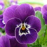 Yumhouse Semillas de Flores para Jardin,Tri-Color Seed Seasons-Rose Violet_2000 Capsules,Semillas de Flores Exterior trepadoras