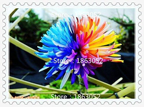 Livraison gratuite 200 Graines de Rainbow Chrysanthème fleur couleur nouvelle arrivée rare bricolage jardin fleur plante