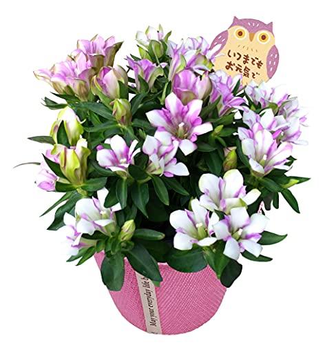 花のギフト社 りんどう鉢植え