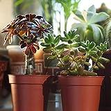 Zoom IMG-2 mix piante succulente 10 pianta