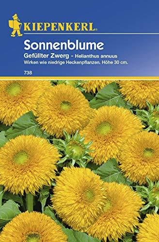 Sonnenblume Gefüllter Zwerg, wirken wie niedrige Heckenpflanzen Höhe 30 cm
