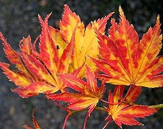 yellow bird japanese maple