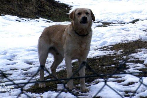 Labradormischling'Ecki' / Dobermann-Sennenhund-Mischling'Tyson'